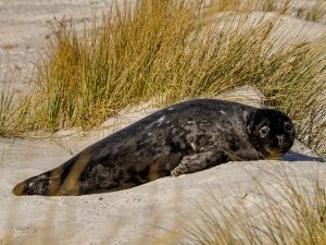 Canva Seal Resting on Shore